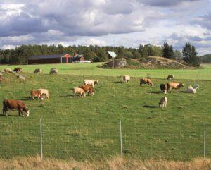 cows field green landscape barn