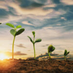 soybean growth in farm with blue sky background agriculture plant seeding growing step concept